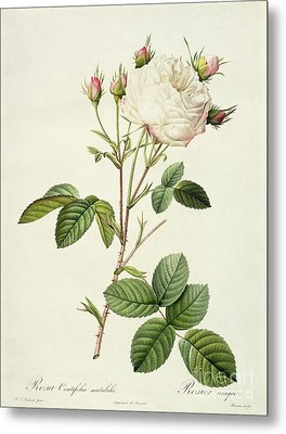 Rosa Centifolia Mutabilis Metal Print by Pierre Joseph Redoute