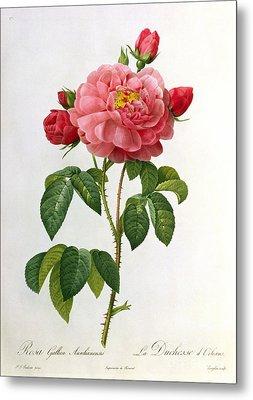 Rosa Gallica Aurelianensis Metal Print by Pierre Joseph Redoute