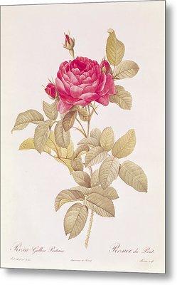 Rosa Gallica Pontiana Metal Print by Pierre Joseph Redoute