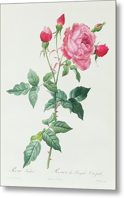 Rosa Indica Metal Print by Pierre Joseph Redoute