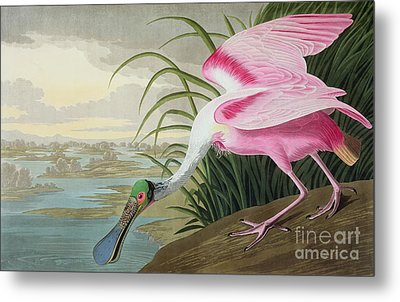 Roseate Spoonbill Metal Print by John James Audubon