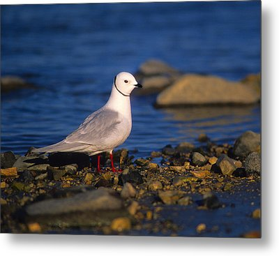 Ross's Gull Metal Print by Tony Beck