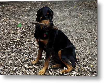 Rottweiler Dog Holding Stick In Mouth Metal Print by Sally Weigand