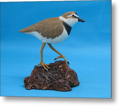 Ruddy Turnstone Metal Print by Jack Murphy