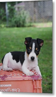 Rudy The Rat Terrier Metal Print by Rebecca Poole