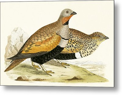 Sand Grouse Metal Print by English School