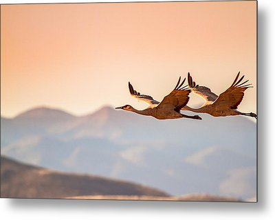 Sandhill Cranes Flying Over New Mexico Mountains - Bosque Del Apache, New Mexico Metal Print by Ellie Teramoto