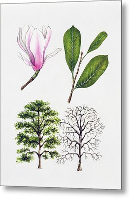 Saucer Magnolia Metal Print by Unknown