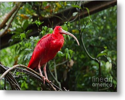 Scarlet Ibis Metal Print by B.G. Thomson