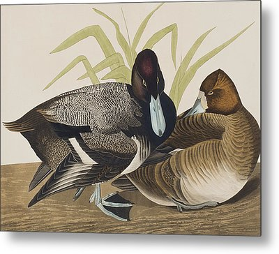 Scaup Duck Metal Print by John James Audubon