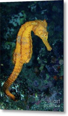 Sea Horse Underwater View Metal Print by Sami Sarkis