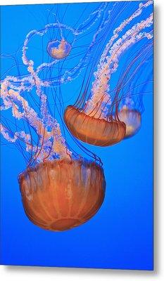 Sea Nettles Chrysaora Fuscescens In Metal Print by Stuart Westmorland