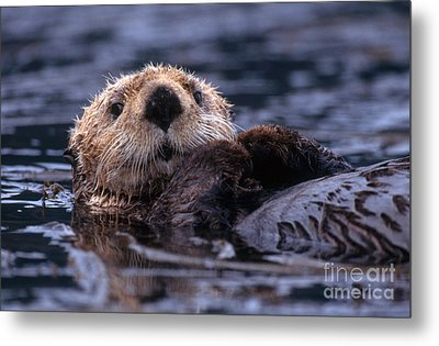 Sea Otter Metal Print by Yva Momatiuk and John Eastcott and Photo Researchers