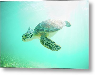 Sea Turtle Baby Metal Print by Monica and Michael Sweet