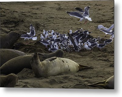 Seagulls And Elephant Seals Metal Print by Garry Gay