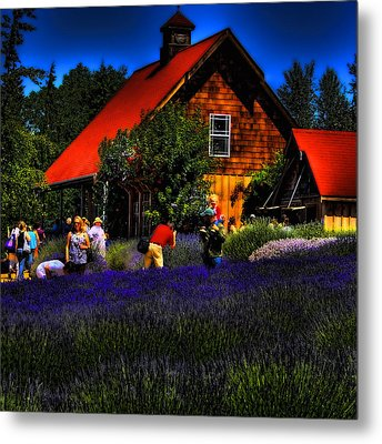 Sequim Lavender Metal Print by David Patterson