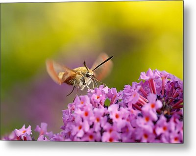 Like A Rainbow - Broad Bordered Bee Hawk-moth Metal Print by Roeselien Raimond