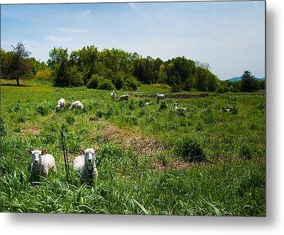 Sheep Stare Metal Print by Mandy Wiltse