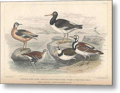 Shore Birds Metal Print by Oliver Goldsmith