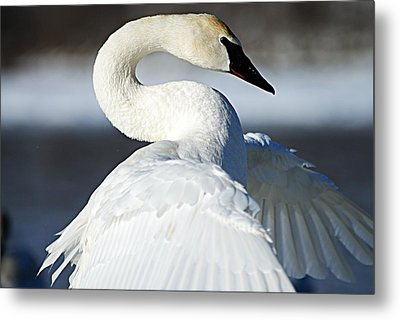 Showing Off Metal Print by Larry Ricker