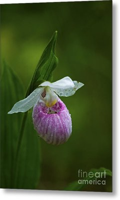 Showy Lady's Slipper.. Metal Print by Nina Stavlund
