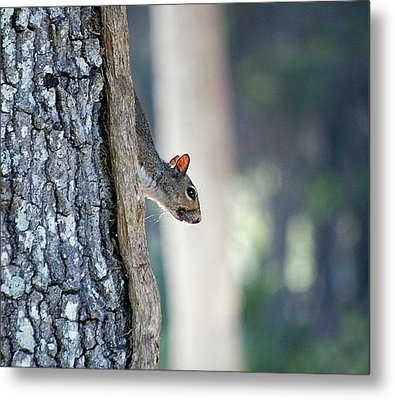 Shy Squirrel Metal Print by Kenneth Albin