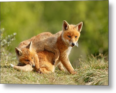 Sibbling Love - Playing Fox Cubs Metal Print by Roeselien Raimond