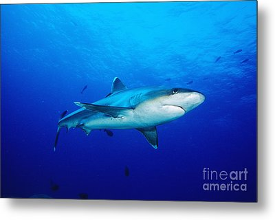 Silvertip Shark In Thailand Metal Print by Dave Fleetham - Printscapes