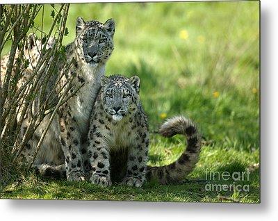 Snow Leopard Or Ounce Uncia Uncia Metal Print by Gerard Lacz