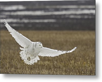 Snowy Owl In Flight Metal Print by Michaela Sagatova