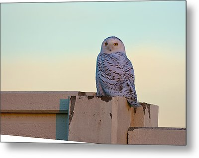 Snowy Owl Metal Print by Randall Branham