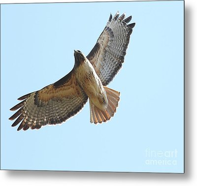 Somewhere In The Sky A Red Tailed Hawk Soars Metal Print by Wingsdomain Art and Photography
