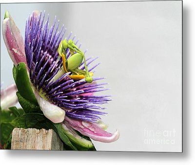 Spikey Passion Flower Metal Print by Sabrina L Ryan