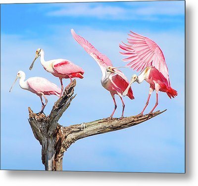 Spoonbill Party Metal Print by Mark Andrew Thomas