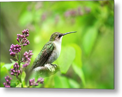 Spring Beauty Ruby Throat Hummingbird Metal Print by Christina Rollo