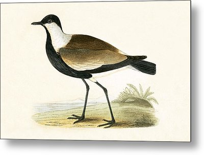 Spur Winged Plover Metal Print by English School