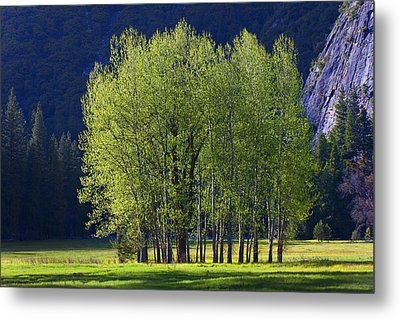 Stand Of Trees Yosemite Valley Metal Print by Garry Gay