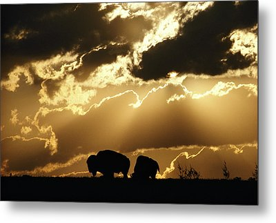 Stately American Bison Metal Print by George F. Mobley