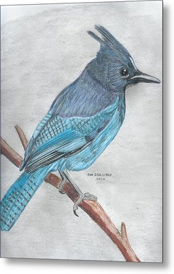 Stellar's Jay Metal Print by Don  Gallacher