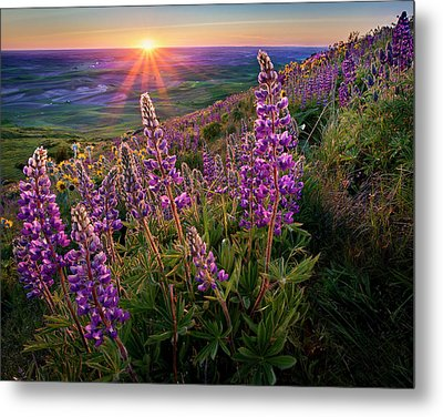 Steptoe Butte Lupine At Sunset Metal Print by Richard Mitchell - Touching Light Photography