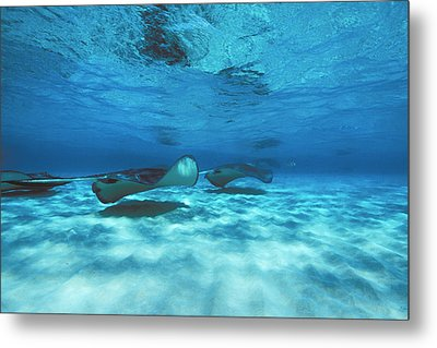 Stingray City Underwater With Stingrays Metal Print by James Forte