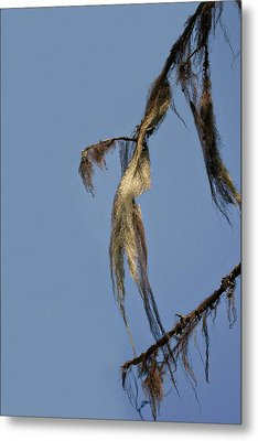 Strand Of Moss Swaying Gently With The Wind - Tiger Mountain Wa Metal Print by Christine Till