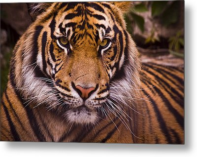 Sumatran Tiger Metal Print by Chad Davis