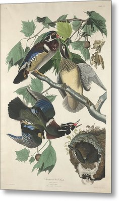 Summer Or Wood Duck Metal Print by John James Audubon