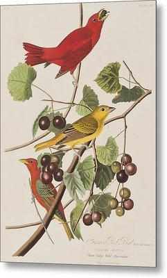 Summer Red Bird Metal Print by John James Audubon