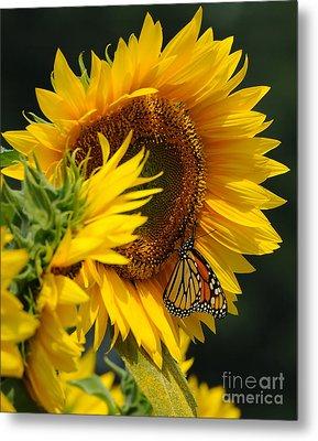 Sunflower And Monarch 3 Metal Print by Edward Sobuta