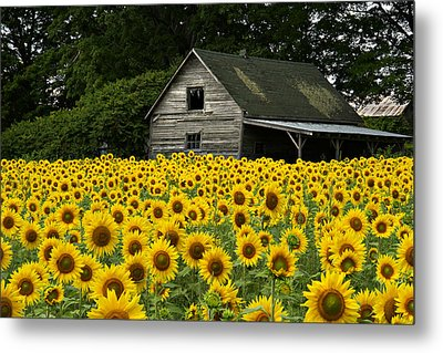Sunflower Field And Barn Metal Print by Tom  Wray