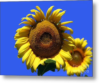 Sunflower Series 09 Metal Print by Amanda Barcon