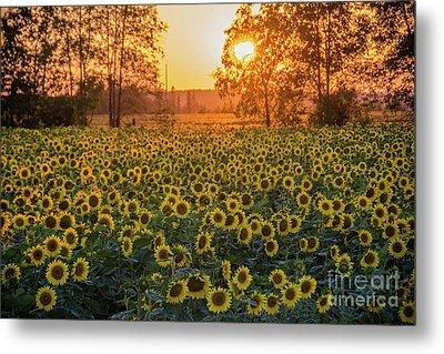 Sunflowers At Sunset Metal Print by Cheryl Baxter