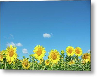 Sunflowers Under The Blue Sky Metal Print by Cheryl Baxter